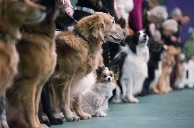 Avito назвал самые известные породы собак в 2017-ом